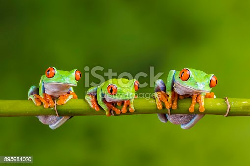 Red-eyed tree frogs sat on some bamboo