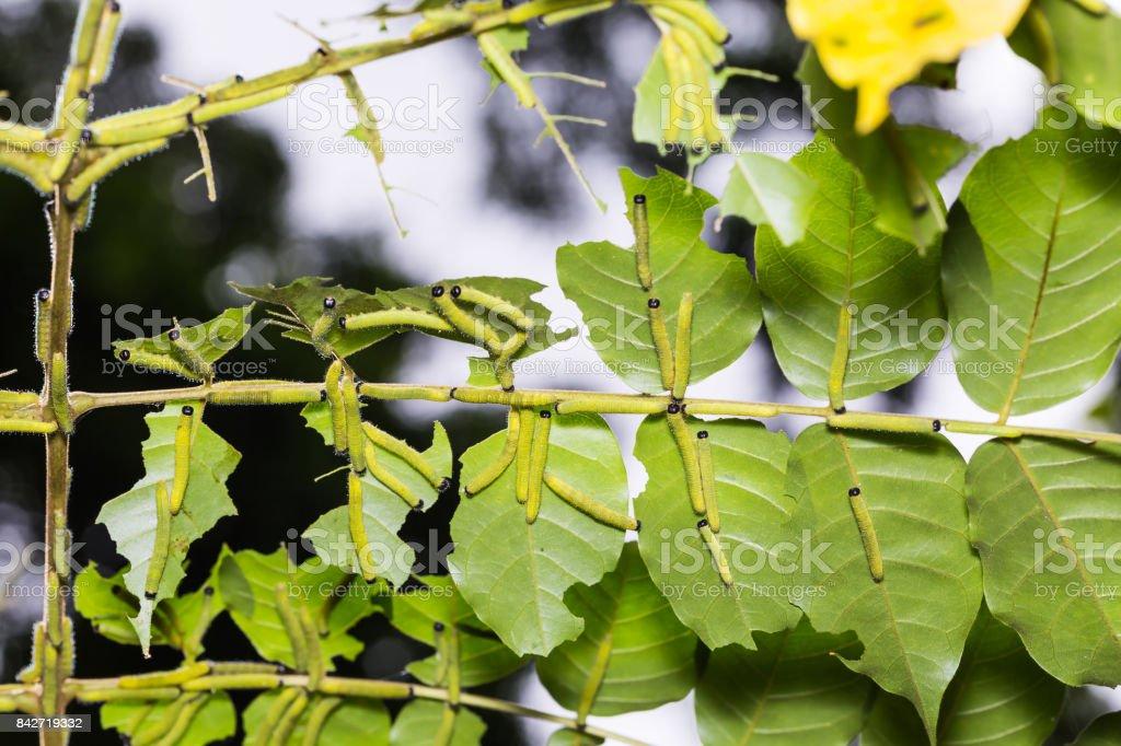 Three-spot Grass Yellow caterpillars stock photo