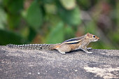 Cute little Three‑Striped Palm Squirrel (chpimonk) sitting on a massive rock