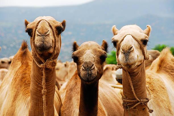 tres camellos (etiopía) - camello fotografías e imágenes de stock