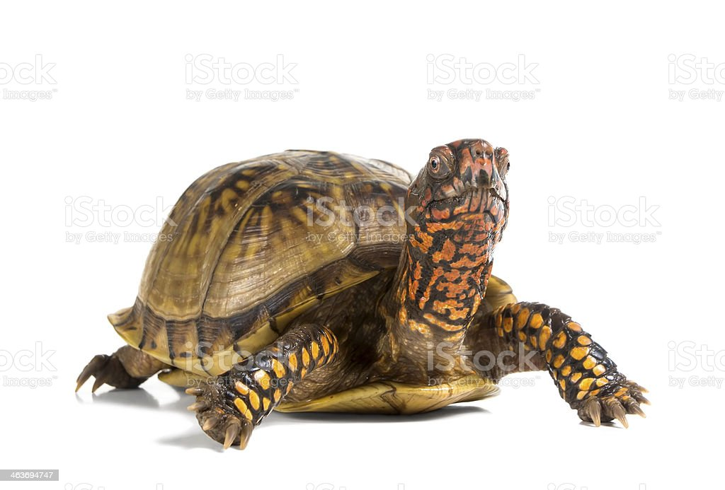 Three-toed Box Turtle (terrapene carolina triunguis) looks ahead stock photo