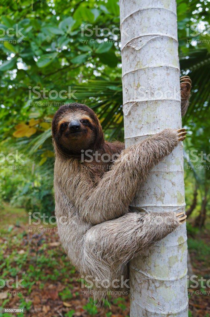 Fotografía de Un Perezoso De Tres Dedos Que Sube En Un árbol y más ...