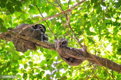 A three-toed sloth mother with its youngling up in a tree