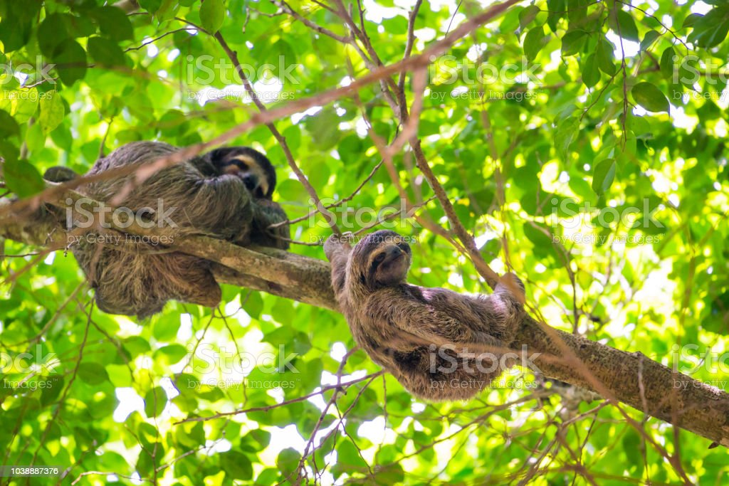 A three-toed sloth mother with its youngling up in a tree stock photo