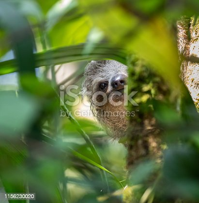 A young three-toed sloth climbing in a tree