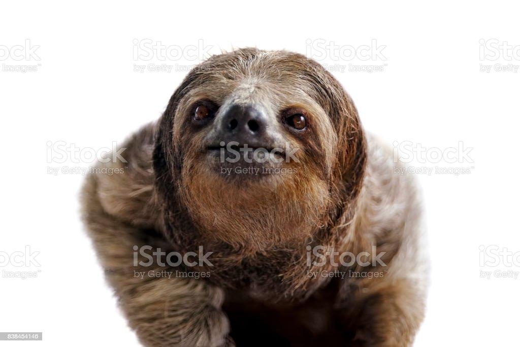 three-toed sloth portrait stock photo