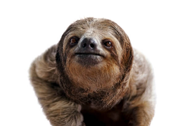 three-toed sloth portrait - sloth stock pictures, royalty-free photos & images