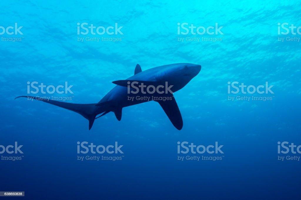 Thresher shark stock photo