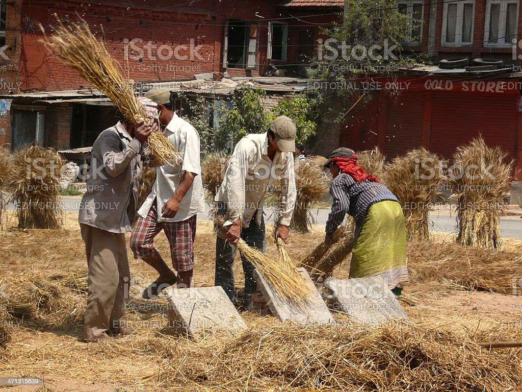 Threshing grain by hand stock photo