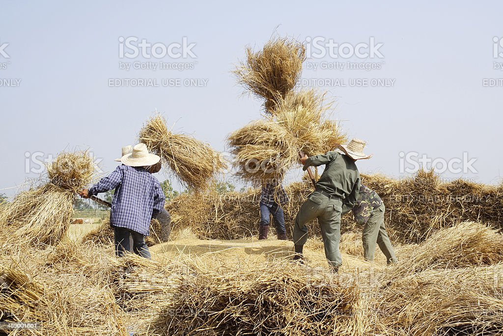 threshing rice stock photo