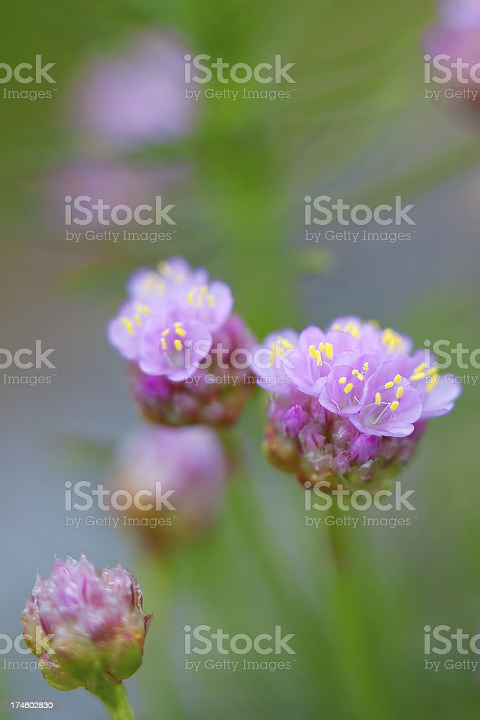 Thrift flower royalty-free stock photo