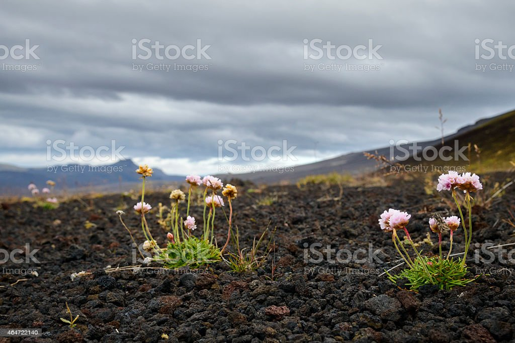 Thrift flowers growing in Iceland stock photo