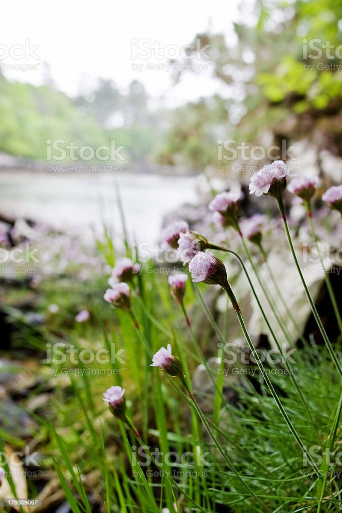 Thrift flowers royalty-free stock photo