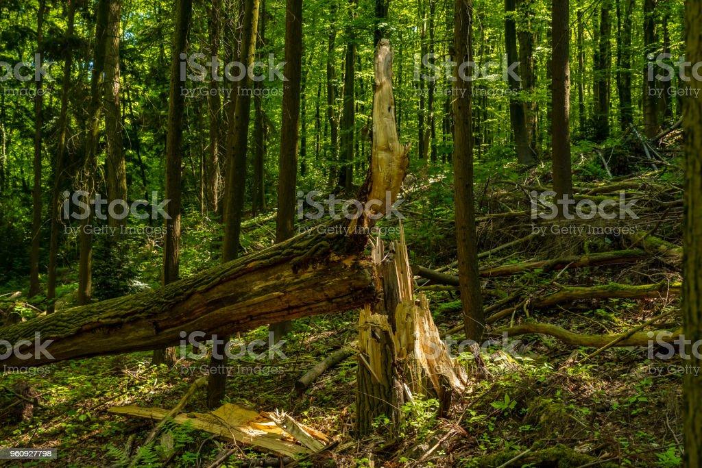 Durch einen Sturm umgestürzten Baum im Wald, Velbert, Deutschland – Foto