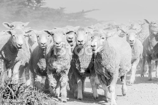Black and white image through dust and haze kicked up by flock of sheep being moved along country road.