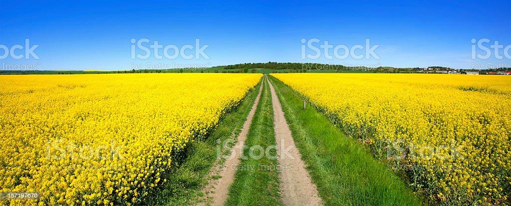 Through Fields of Rape IV royalty-free stock photo