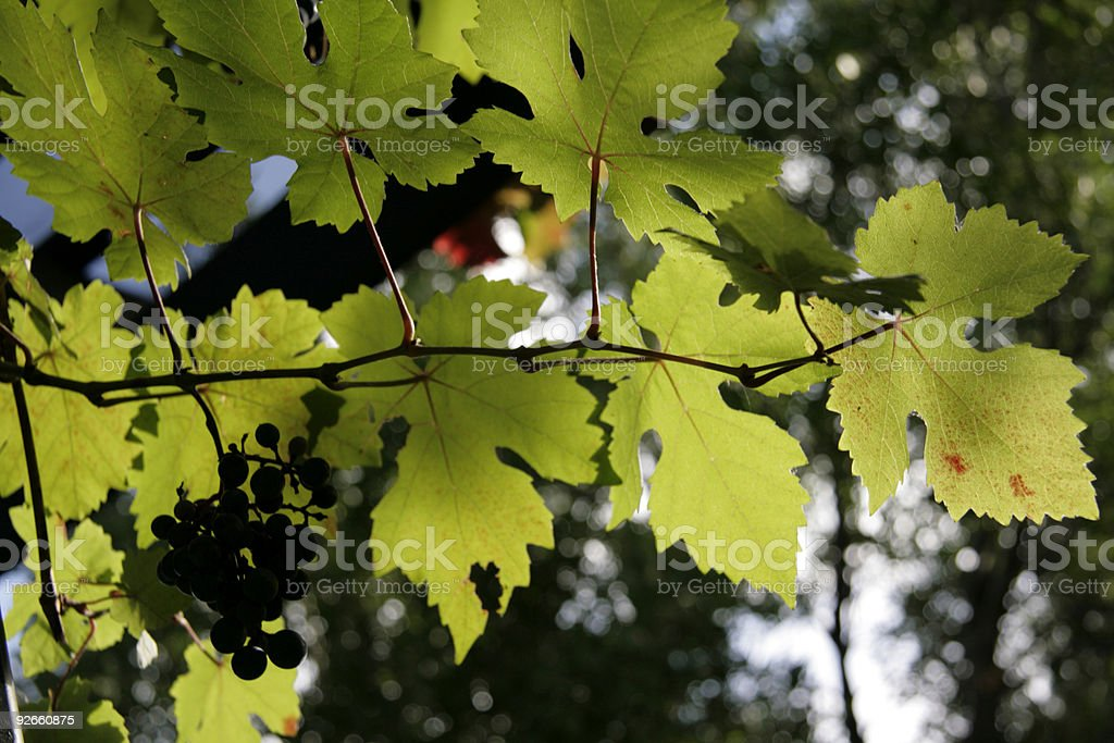 Through the leaves royalty-free stock photo