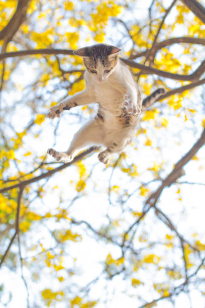 Throwing cat in the air with yellow flower background look like picture id1096985946?b=1&k=6&m=1096985946&s=612x612&w=0&h=a73 7x8mk yl6k1ktsy inl7ysdeenv 0p8ql1kujai=