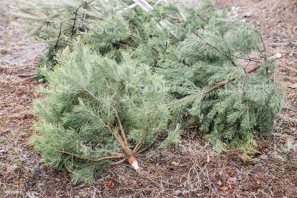 Abgewiesen Weihnachten Bäume – Foto