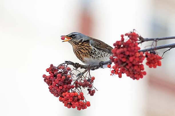 thrush bird eats the ripe red rowan berries - song thrush imagens e fotografias de stock