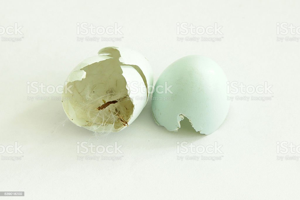 thrush eggshell two halves after just hatched bird stock photo