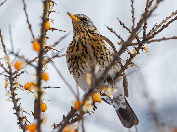 Thrush Fieldfare sitting on a branch of sea buckthorn in a winter day stock photo
