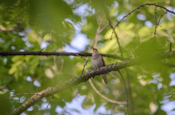 thrush nightingale (luscinia luscinia), also known as the sprosser. - song thrush imagens e fotografias de stock