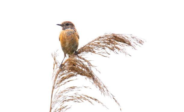 Thrush nightingale , Sprosser singing on grass stock photo