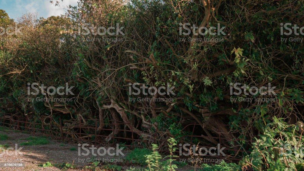 Thuggish Hedge stock photo