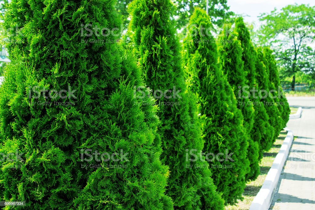 Thuja alley and road in summer stock photo