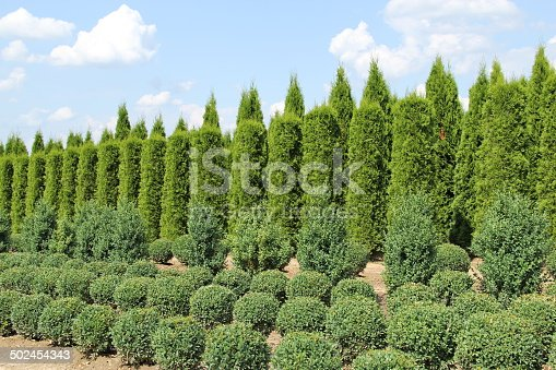 thuja und buxus pflanzen in einer reihe stock fotografie und mehr bilder von buchsbaum istock. Black Bedroom Furniture Sets. Home Design Ideas