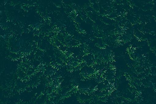 Emerald green thuja close-up.
