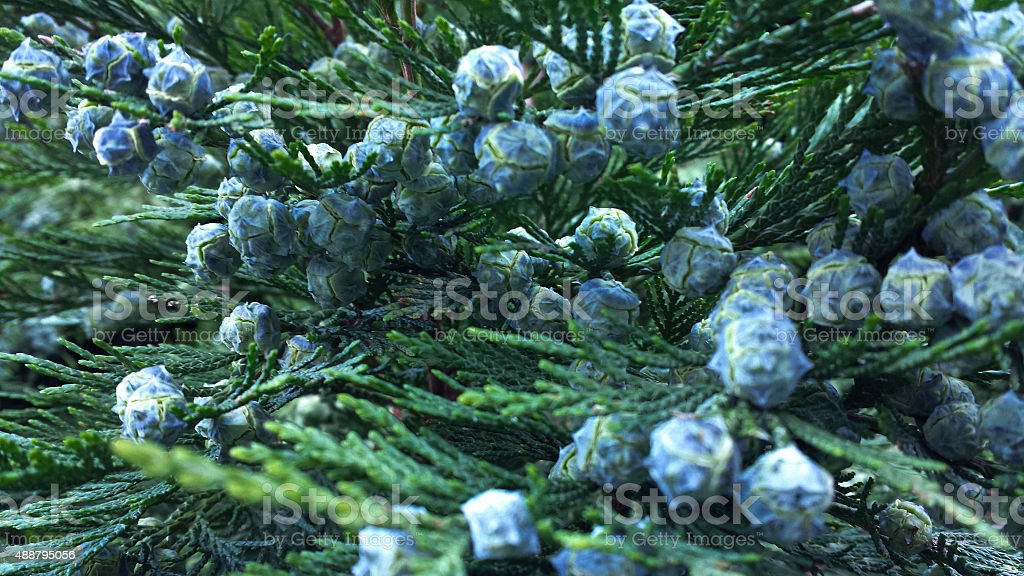 Thuja Berries stock photo