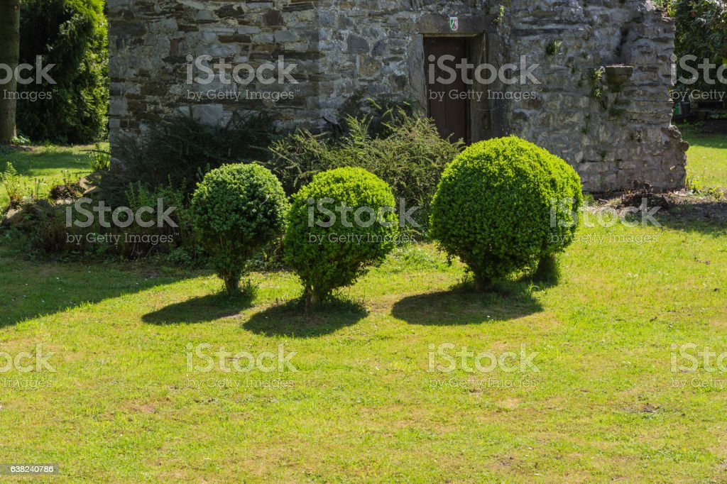 Thuja in a meadow. stock photo