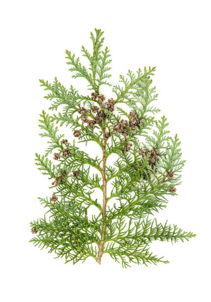 thuja isolated white background evergreen plant - evergreen plant stock photos and pictures