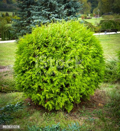 istock Thuja occidentalis Danica round shape Decorative garden 892831078