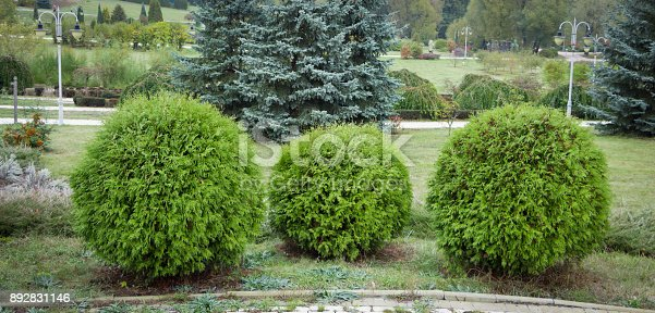 istock Thuja occidentalis Danica round shape Decorative garden 892831146