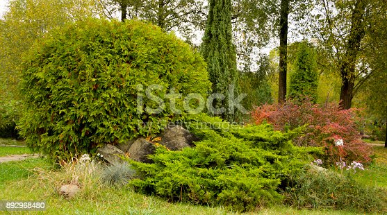 istock Thuja occidentalis Danica round shape Decorative garden 892968480