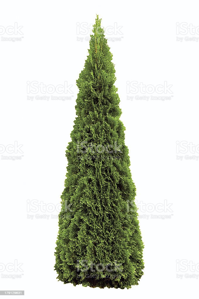 Thuja occidentalis 'Smaragd', Green American Arborvitae Occidental Smaragd Wintergreen, Isolated stock photo