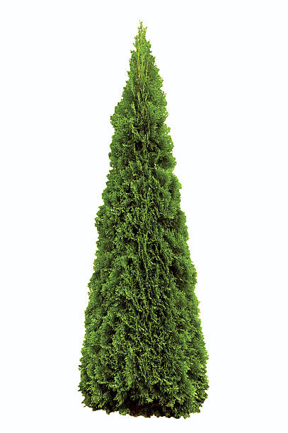 thuja occidentalis 'smaragd', green american arborvitae occidental smaragd wintergreen, isolated - cypress tree stock photos and pictures