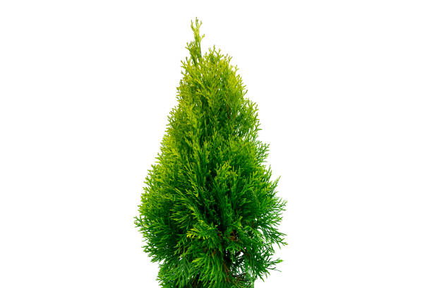 Thuja occidentalis smaragd Isolated on white background with clipping path. Green thuja isolated on white background. Evergreen coniferous tree. Cypress thuja stock photo