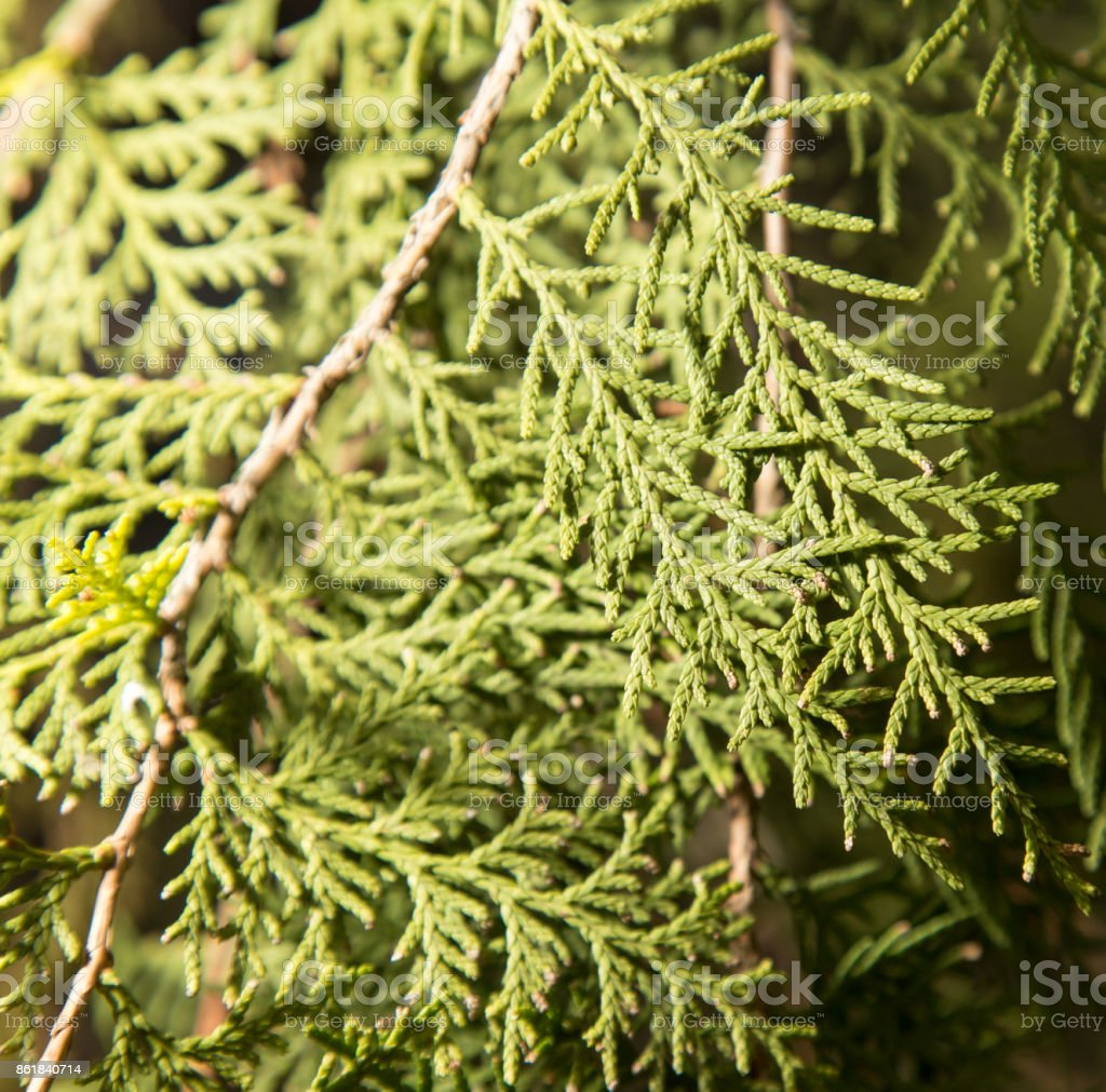 Thuja Outdoors stock photo