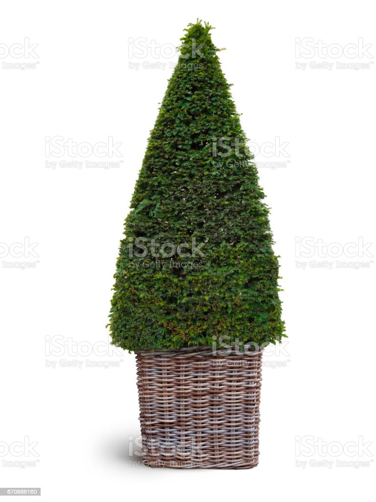 thuja plant in basket – Foto