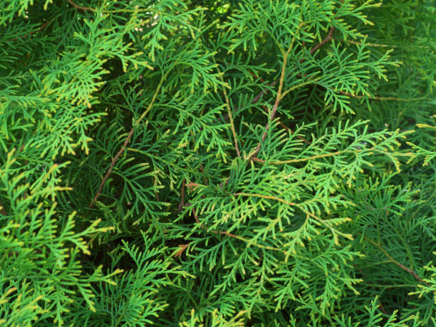 Thuja texture. Green thuja tree branches and leaves as natural background stock photo