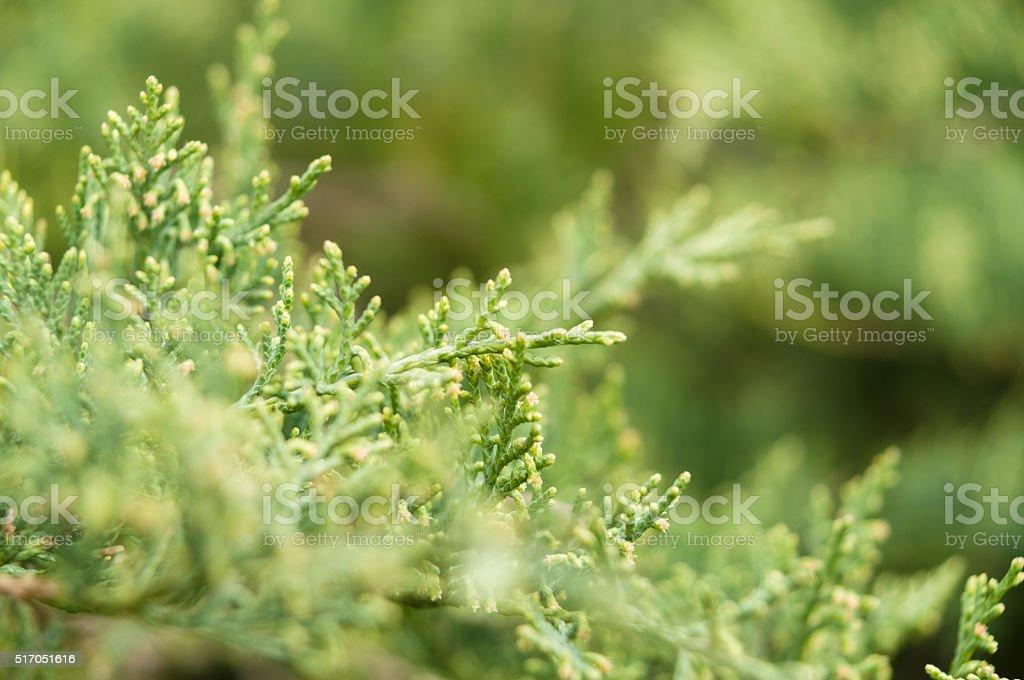 Thuja tree branches closeup stock photo