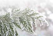Branches of thuja tree in snow. Frozen branches of thuja.