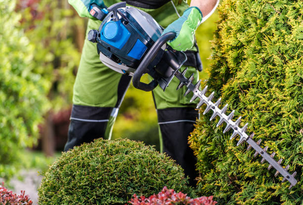 Thujas Green Wall Shaping with Hedge Trimmer stock photo
