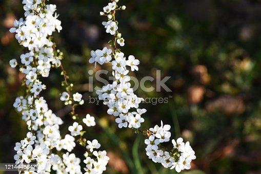 Thunberg spirea / Rosaceae deciduous shrub