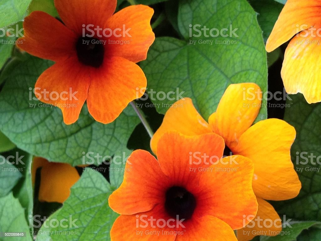 Thunbergia Alata - Black-Eyed Susan royalty-free stock photo