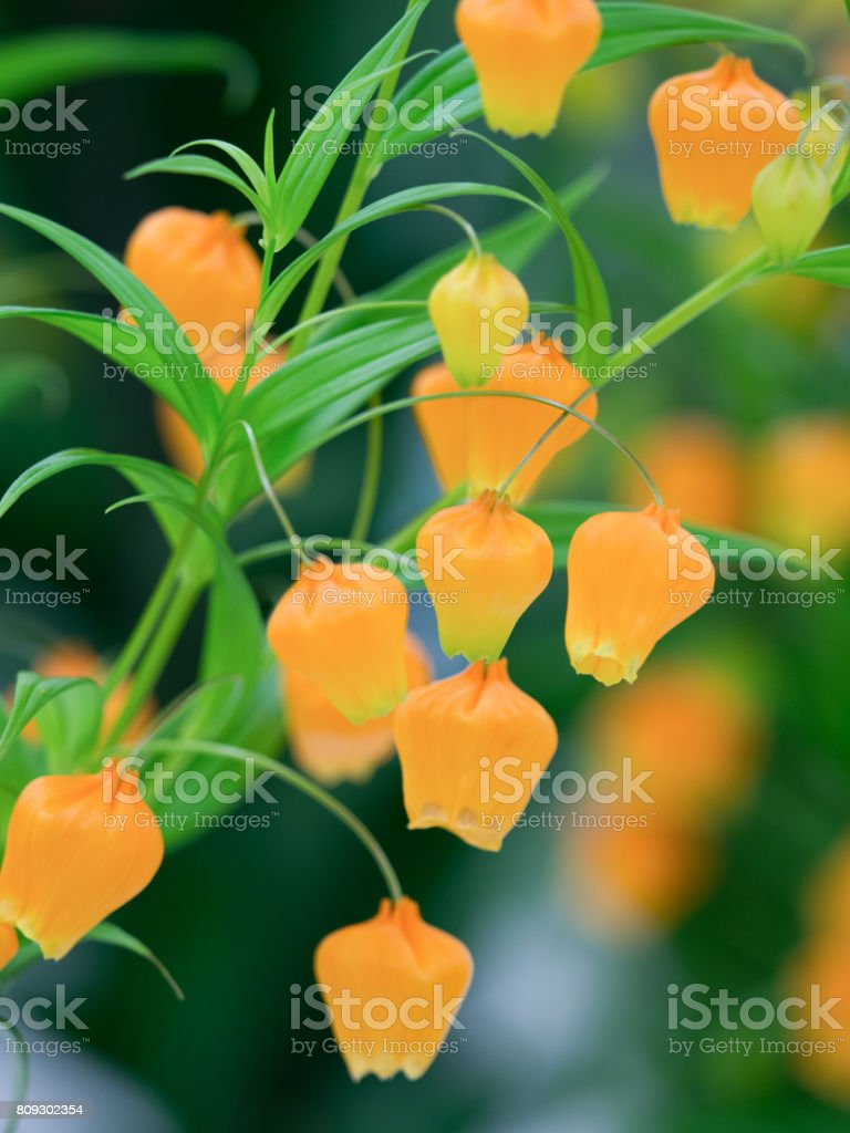 Thunder Sonia Stock Photo More Pictures Of Chinese Lantern Lily